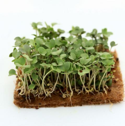 Микрозелень на подложке: капуста кольраби Венская белая