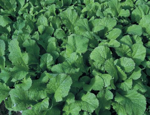 Зелёное удобрение